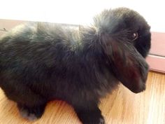 Phoebe a black Holland lop owned by animal_addict14 on Instagram