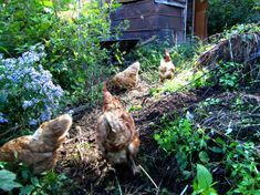 Chicken forest pasture experiment,Year 1 (The Walden Effect Blog): The idea is to create a permaculture system that feeds our chickens with very little input of storebought food.