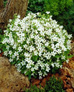 ~White campanula