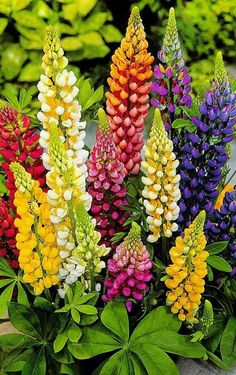 For impressive garden plants with tall, showy flowers, few can top the lupines. Growing lupine garden plants is as simple as planting seeds or cuttings. Exotic Flowers, Amazing Flowers, Pretty Flowers, Colorful Flowers, Colorful Garden, Tall Flowers, Shade Flowers, Unique Flowers, Diy Flowers