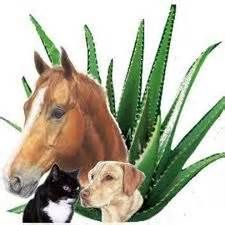 Forever Aloe Vera is for animals too!keep your pets healthy with Aloe Vera. Forever Living Aloe Vera, Forever Aloe, Our Body, Face And Body, Forever Business, Forever Living Products, Aloe Vera Gel, Animal House, Health And Wellbeing