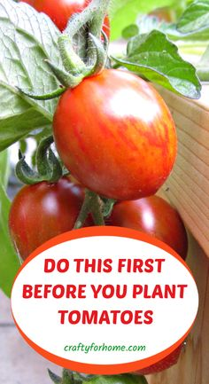 Gardening tips on how to grow the best tomatoes by adding these 7 things before you put tomato plants into the planting hole. garden for beginners Container Gardening Vegetables, Planting Vegetables, Growing Vegetables, Vegetable Gardening, Growing Tomato Plants, Growing Tomatoes, Garden Tomatoes, How To Plant Tomatoes, Growing Green Beans