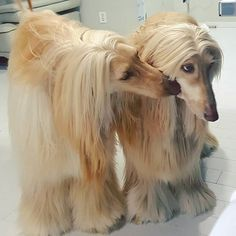 Afghan Hound, Collie Puppies, Dogs And Puppies, Animals Beautiful, Cute Animals, Hunting Dogs, Afghans, Dog Grooming, Doggies