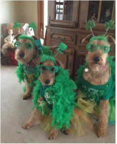 Eight Irish Dog Breeds Celebrate St Patricks Day Fidose of Reality Terrier Breeds, Airedale Terrier, Terrier Dogs, Irish Dog Breeds, Red And White Setter, Irish Water Spaniel, Cocker Spaniel Puppies, Purebred Dogs, Irish Wolfhound
