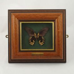 """Mounted Butterfly Taxidermy. Love the dark wood and green background. So """"grandpa's study."""" I WANT IT!!"""