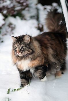 Norwegian Forest Cats are closely related to the Siberian cat, and the Norwegian Forest cat shares many of its characteristics. It is said that these cats were introduced by Vikings around 1000 AD. Pretty Cats, Beautiful Cats, Animals Beautiful, Cute Animals, Pretty Kitty, Beautiful Forest, Animals In Snow, Easy Animals, Wild Animals