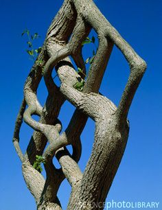 incredible pleached tree!