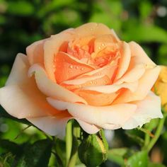 I Love My Garden Beautiful Moment #holland #flowers #tullips #roses #garden #landscape#kids#spring#Beautiful#