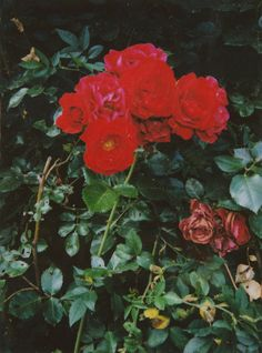 *Red Rose*
