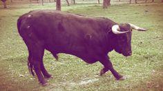 Allevatore ucciso da un toro: accade nel cuneese http://tuttacronaca.wordpress.com/2013/11/30/allevatore-ucciso-da-un-toro-accade-nel-cuneese/