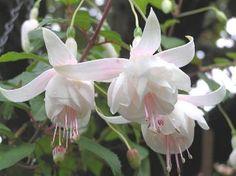 Fuchsia Plants for Hanging Baskets