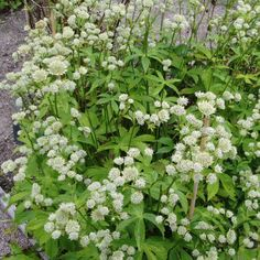 Astrantia major Alba - Astrance à fleurs blanches