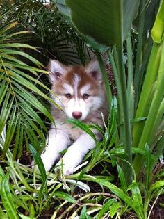 Native American Indian Dog. I'm in love. Can't wait to get one to play with Zoey!