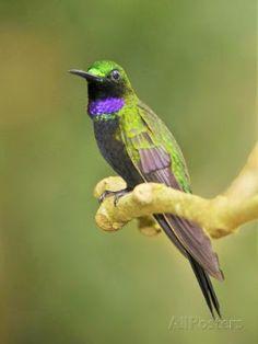 brilhante-de-garganta-preta_Heliodoxa schreibersii_Brazilian Birds