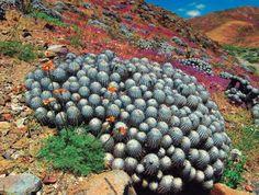 2013 Copiapoa, Cactus de Chile... http://www.facebook.com/media/set/?set=a.4851717603539.2176677.1014978408&type=1
