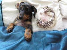 Dackel Maya und der Afrikanische Weißbauchigel sind beste Freunde.