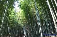 Bambouseraie d'Arashiyama, Kyoto, Japon