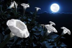 to Plant a Magical Moon Garden Here's How to Plant a Magical Moon Garden!: Plant a garden with night-blooming flowers.Here's How to Plant a Magical Moon Garden!: Plant a garden with night-blooming flowers. Night Blooming Flowers, Blooming Plants, Night Flowers, Purple Flowers, Flowering Plants, Exotic Flowers, Tropical Flowers, Yellow Roses, Spring Flowers