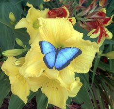 Blue Butterfly on Yellow Lily