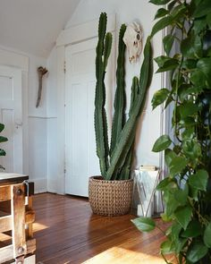 Good Pictures big cactus plants Thoughts Succulents along with cacti include the best property interior decoration regarding minimalists and also move Big Indoor Plants, Big Plants, Indoor Garden, Potted Plants, Balcony Garden, Grand Cactus, Tall Cactus, Cactus Flower, Cactus Pot