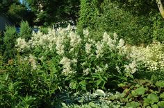 White Fleeceflower (Persicaria polymorpha) in St Paul Minneapolis Twin Cities Metro Minnesota at Linder's Garden Center 3 feet, partial shade, blooms early summer to early fall