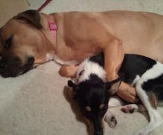 BFFs..Pit Bull mix and Rat Terrier