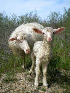 "simply-divine-creation: "" Sheep and baby Lamb "" Farm Animals, Animals And Pets, Cute Animals, Beautiful Creatures, Animals Beautiful, Feed My Sheep, Wooly Bully, Baa Baa Black Sheep, Sheep Art"