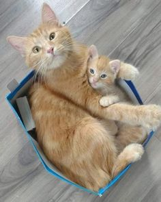 Cat In a Box With Her Cute Kitten
