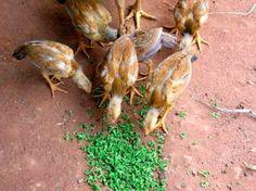 Azolla (water fern) as protein-rich animal feed