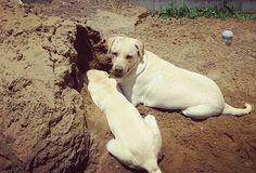 Barro liberadoooooo! Aêêêêêêêê!  _________________________________ #Harry #giuseppe #Labrador #Retriever #filhotes #cachorro #dog #Instadog #instaharry #instapet #dogslovers #puppy #pup #doggie #pet #lab #yellowlab #golden #talesofalab #babydog #loveanimals #labragram #laboftheday #worldoflabs #photo #instagram #friday #sexta #followme by labradoresharryegiuseppe