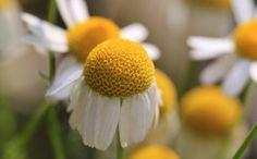 Les vertus de l'eau florale de camomille romaine
