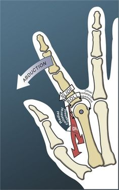 Finger active abduction arthrokinematics (at the metacarpophalangeal joint) Hand Anatomy, Anatomy Study, Body Anatomy, Basic Anatomy And Physiology, Anatomy Sketches, Medical Anatomy, Muscle Anatomy, Physical Therapy, Massage Oil