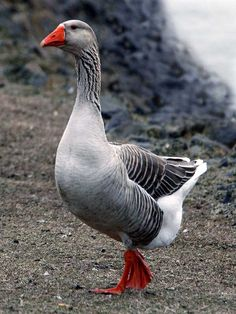 "''I love geese; especially the gray ones as they remind me of my childhood. ""Mother Goose"" by Arnie Goldstein'' Farm Animals, Animals And Pets, Cute Animals, Beautiful Birds, Animals Beautiful, Geese Breeds, Guinea Fowl, Grey Goose, Mother Goose"