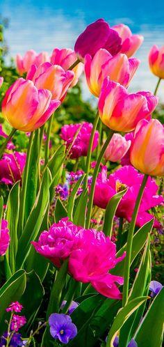Tulips - amazing colors!