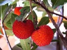 Arbutus unedo L. Arbutus Unedo, Dwarf Fruit Trees, Chef's Choice, Chocolate Waffles, Strawberry Patch, Herb Seeds, Organic Seeds, Healthy Chocolate, Pesto