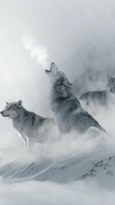 Most Likes 10 Wolf Wallpapers – Phone Wallpapers Wolf Photos, Wolf Pictures, Nature Photos, Beautiful Wolves, Animals Beautiful, Tier Wolf, Animals And Pets, Cute Animals, Wolf Life