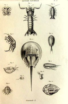 1852 Vintage french crustaceans engraving by LyraNebulaPrints, $23.95