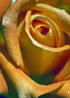 Untitled by José Cardoso, via oh to have this in my rose garden! My Flower, Flower Power, Lilies Of The Field, Types Of Roses, Most Beautiful Gardens, Rose Of Sharon, Language Of Flowers, Flower Pictures, Yellow Roses
