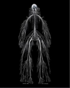 Cerebro-spinal nervous system: We do look a little creepy under our skin   Cerebro-spinal nervous system is the portion of the nervous system in vertebrates comprising the brain, cranial nerves, spinal cord, and the spinal nerves concerned with transmission of impulses from sense organs to the voluntary muscles.   Credits: Rufus Benjamin Weaver
