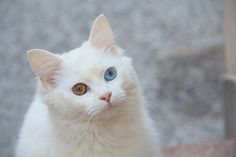 These cat breeds are just as cuddly and affectionate as dogs