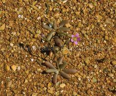 Calandrinia eremaea-6.jpg -