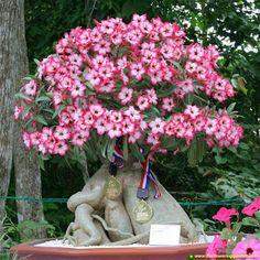 Adenium Bonsai Obesum Desert RoseMore Pins Like This At FOSTERGINGER