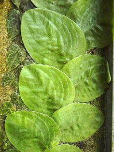 Rhaphidophora korthalsii