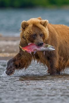 bear with salmon catch