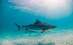 Download wallpapers shark, predator, underwater world, sea, shark under water