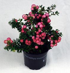 Pernettya mucronata rosa