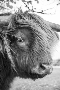 Highland Cattle 18 – Fine Art Photography – Highland Cow – Nature Photography – Print Source by Highland Cow Art, Scottish Highland Cow, Highland Cattle, Nature Animals, Farm Animals, Animals And Pets, Cute Animals, Cow Photos, Cow Pictures