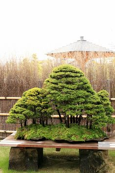 蝦夷松 Yezo-matsu (Yezo Spruce) - 盆栽美術館 - bonsai museum by Norio.NAKAYAMA, via Flickr