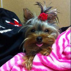 My baby Bijoux. Tiny Yorkie