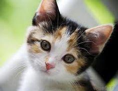 newborn calico kittens - Google Search